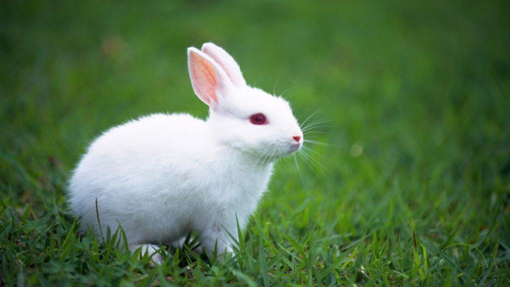 white-rabbit-red-eyes