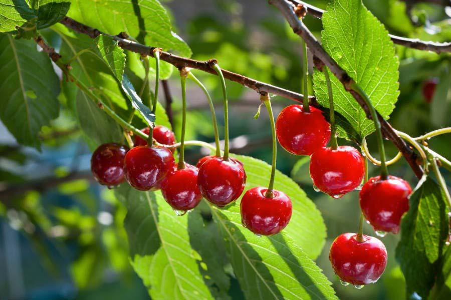 Alberi da frutto grotta campanile for Alberi da frutto