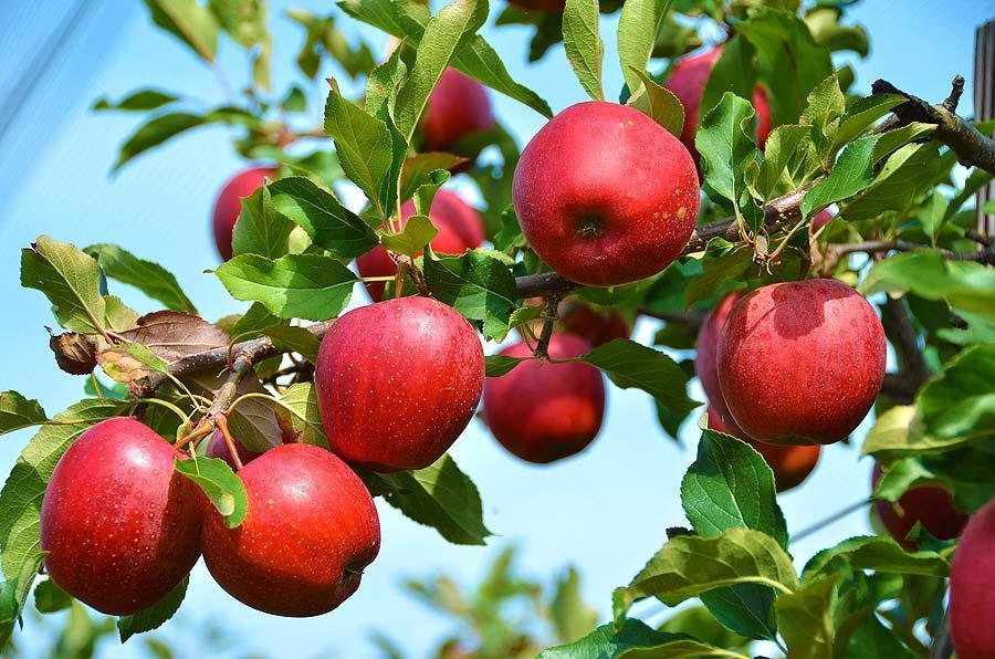 mele-alberi-da-frutto