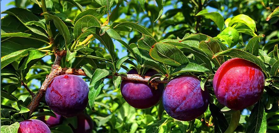 susine-alberi-da-frutto